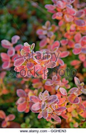 Botanique, couleurs de l'automne au début de septembre. Le Parc National Urho Kekkonen, Laponie., Additional Photo Stock