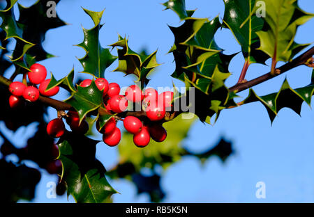 Fruits rouges et vertes feuilles de houx Photo Stock