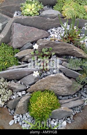 Jardin alpin rock close up saxifrage mousse au début du printemps la plantation des plantes monticule bouquet artificiel arrangement Photo Stock