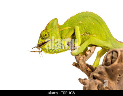 Caméléon, Chamaeleo chameleon, l'alimentation sur les insectes in front of white background Photo Stock