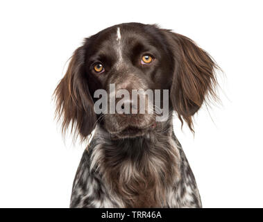 Grand Epagneul in front of white background Photo Stock