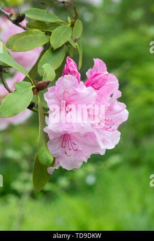 Rhododendron 'Pink pearl' la floraison au printemps. UK Photo Stock