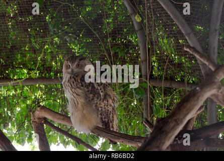 Portrait caché de Long-eared Owl avec de grands yeux Photo Stock