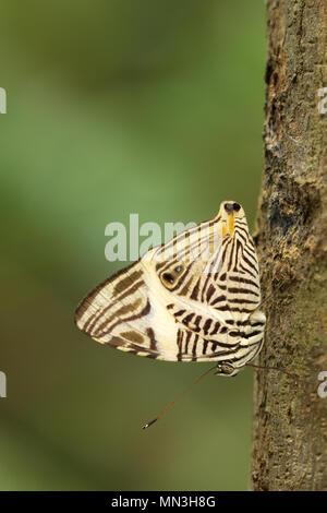 Un papillon dans la jungle, la Quebrada Valencia, Magdalena, Colombie Photo Stock