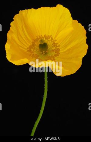 Papaveraceous papaver pavot jaune fleur unique annuel cultivé cultiver Photo Stock