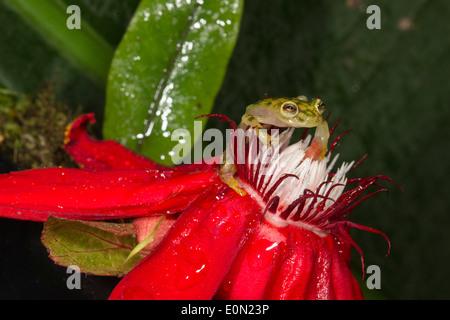 Grenouille de verre réticulée, le volcan Arenal, Costa Rica, Amérique centrale. (Hyalinobatrachium valerioi situation contrôlée) Photo Stock