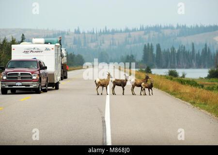 Wild long horn moutons à côté d'une route très fréquentée dans le parc national Photo Stock