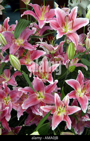 Lily rose fleur jardin plante genre frontière variété chef bud bunch England UK Royaume-Uni GB Grande-bretagne EU Photo Stock