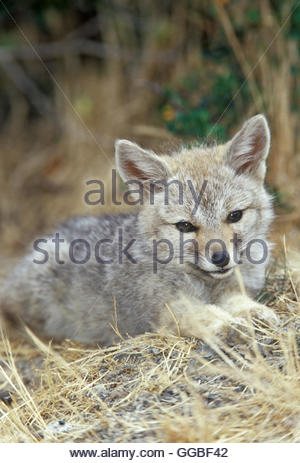 Zoologie / animaux, des Mammifères Mammifères (Mammalia) /, jeune renard gris de Patagonie (Dusicyon griseus Photo Stock