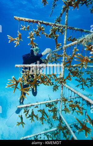 Fondateur de trésor tend à coral nursery. Photo Stock