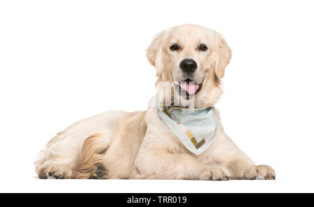 Golden Retriever de 6 mois, le mensonge in front of white background Photo Stock