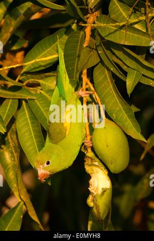 Yellow-chevroned Parakeet en mangeant des fruits, Pantanal, Brésil, Amérique du Sud (Brotogeris chiriri) Photo Stock