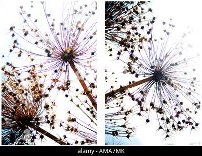 Graines Allium séché Photo Stock