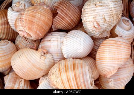 Shell naturelle de calcium sel marin spirale dur l'eau plongée recueillir marché hebdomadaire semaine bazar boutique commerce de détail vendent du marché Photo Stock
