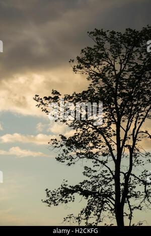 Ciel du soir et silhouette d'arbre. Photo Stock