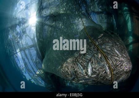 Rempli de petits poissons Net, ikan puri, ci-dessous un local Bagan (bateau de pêche avec filets et plate-forme), Baie Cenderawasih, Nouvelle Guinée Photo Stock