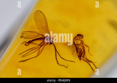 (Terreaux et fly) dans l'Ambre - Mycetophilidae, Colombie, Pléistocène Photo Stock