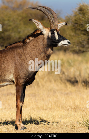 Portrait d'un homme de l'antilope rouanne (Hippotragus equinus).L'Afrique du Sud Photo Stock