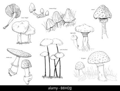 Plume et encre illustration de champignons britannique Photo Stock