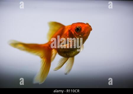 Les poissons rouges dans l'aquarium Photo Stock