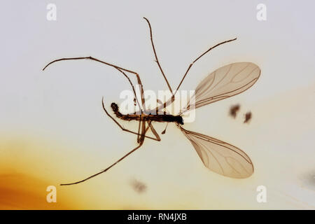 Dans l'Ambre - Terreaux Mycetophilidae, Colombie, 10 Pliocène MYO Photo Stock