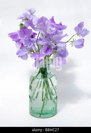 Nom commun: pois doux NOM LATIN: Lathyrus odoratus Photo Stock