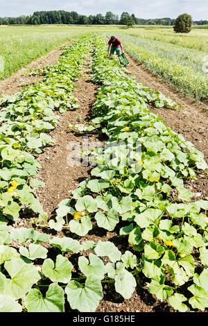 Farmer harvesting citrouilles dans ferme bio Photo Stock