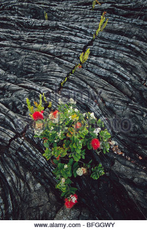 'Ohi'a lehua fleurissent dans la pierre de lave, Metrosideros polymorpha, Hawaii Volcanoes National Park, Photo Stock