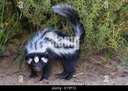 Putois rayé(Ictonyx striatus).La Namibie Photo Stock