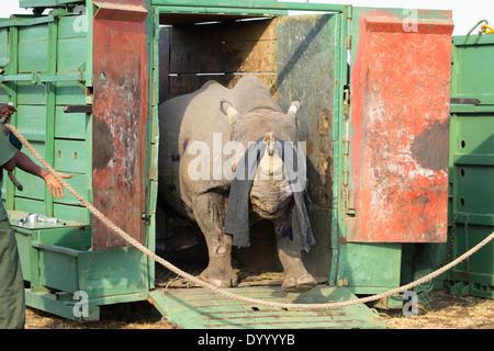 Le Rhinocéros noir (Diceros bicornis) d'être libérés dans une zone protégée.Ithala game reserve.Afrique du Sud Photo Stock