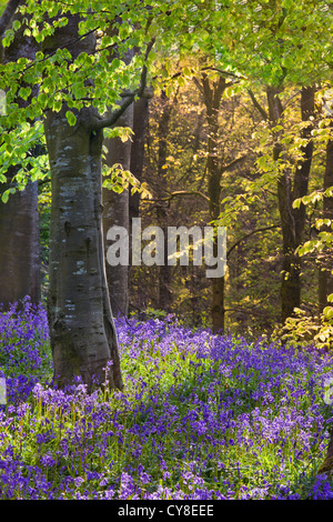 Portglenone Forest Park dans le comté d'Antrim, en Irlande du Nord. Photo Stock