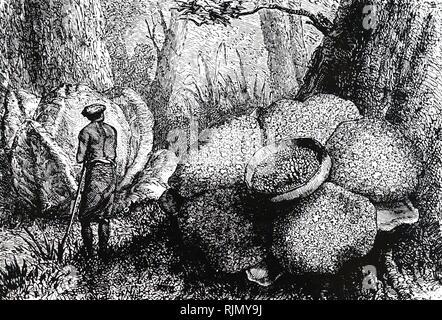 Une gravure représentant les fleurs et bourgeons de Rafflesia Sumatra dans la forêt. En date du 19e siècle Photo Stock