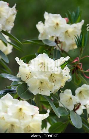 Rhododendron 'Jancio' la floraison au printemps. UK Photo Stock