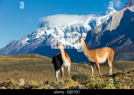Deux guanacos (Lama guanicoe) debout sur la colline avec les montagnes de Torres del Paine en arrière-plan.Patagonie.Chili Photo Stock