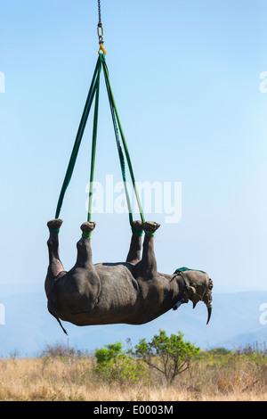 Le Rhinocéros noir (Diceros bicornis) transportés par hélicoptère dans un endroit sûr.Ithala game reserve.Afrique du Sud Photo Stock