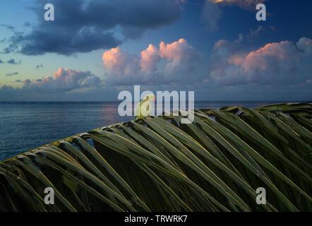 Perroquet sur branche de palmier avec le lever du soleil les nuages. Poipu, Kauai, Hawaï. Photo Stock