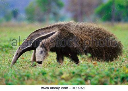 Fourmilier géant à la recherche de termites, Myrmecophaga tridactyla, Pantanal, Brésil Photo Stock