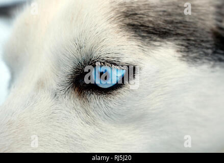 Oeil d'un chien Photo Stock
