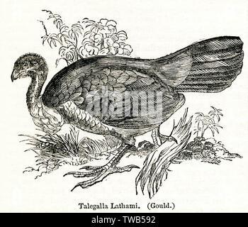 Lathami Talegalla ou Pinceau, la Turquie d'oiseaux australiens de la famille megapode. Date: 1842 Photo Stock