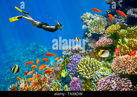 Mer Rouge, coraux et poissons, Charm El Cheikh, Egypte Photo Stock