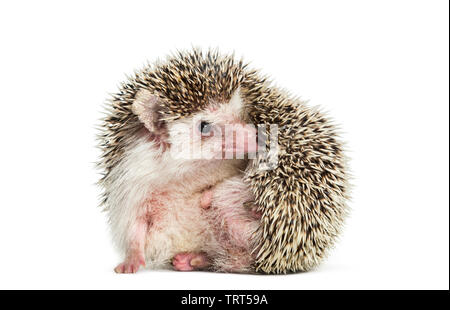 L'éraflure Hedgehog in front of white background Photo Stock