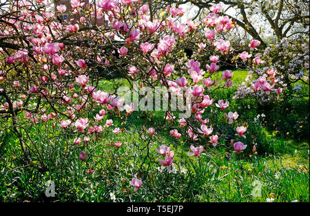Magnolia fleurs dans jardin, Norfolk, Angleterre Photo Stock