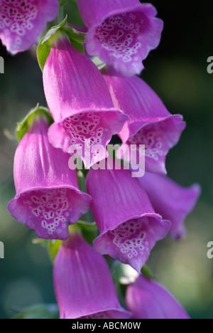 Foxglove digitalis fleur botanique close close-up closeup détail campagne forêt fleurs médicinales Photo Stock