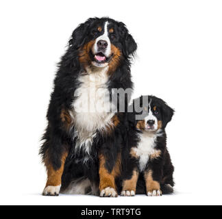 Bernois, 8 ans et 3 mois, in front of white background Photo Stock