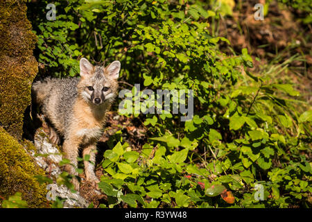 Le Glacier National Park, Montana. Gray Fox Photo Stock