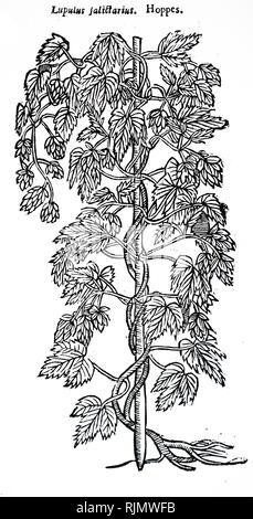 Une gravure sur bois représentant un spécimens de houblon. En date du 17e siècle Photo Stock