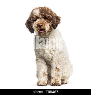 Lagotto Romagnolo, 7 mois, in front of white background Photo Stock