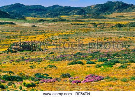 Fleurs sauvages, Goegap Nature Reserve, Afrique du Sud Photo Stock