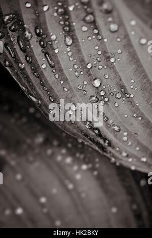 Les feuilles humides avec des gouttes d'eau. Détail de la nature en noir et blanc. Photo Stock