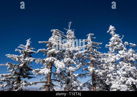 Averses de neige et de givre blanc sur les pins dans les montagnes de San Bernardino, forêt nationale de San Bernardino, California USA Photo Stock